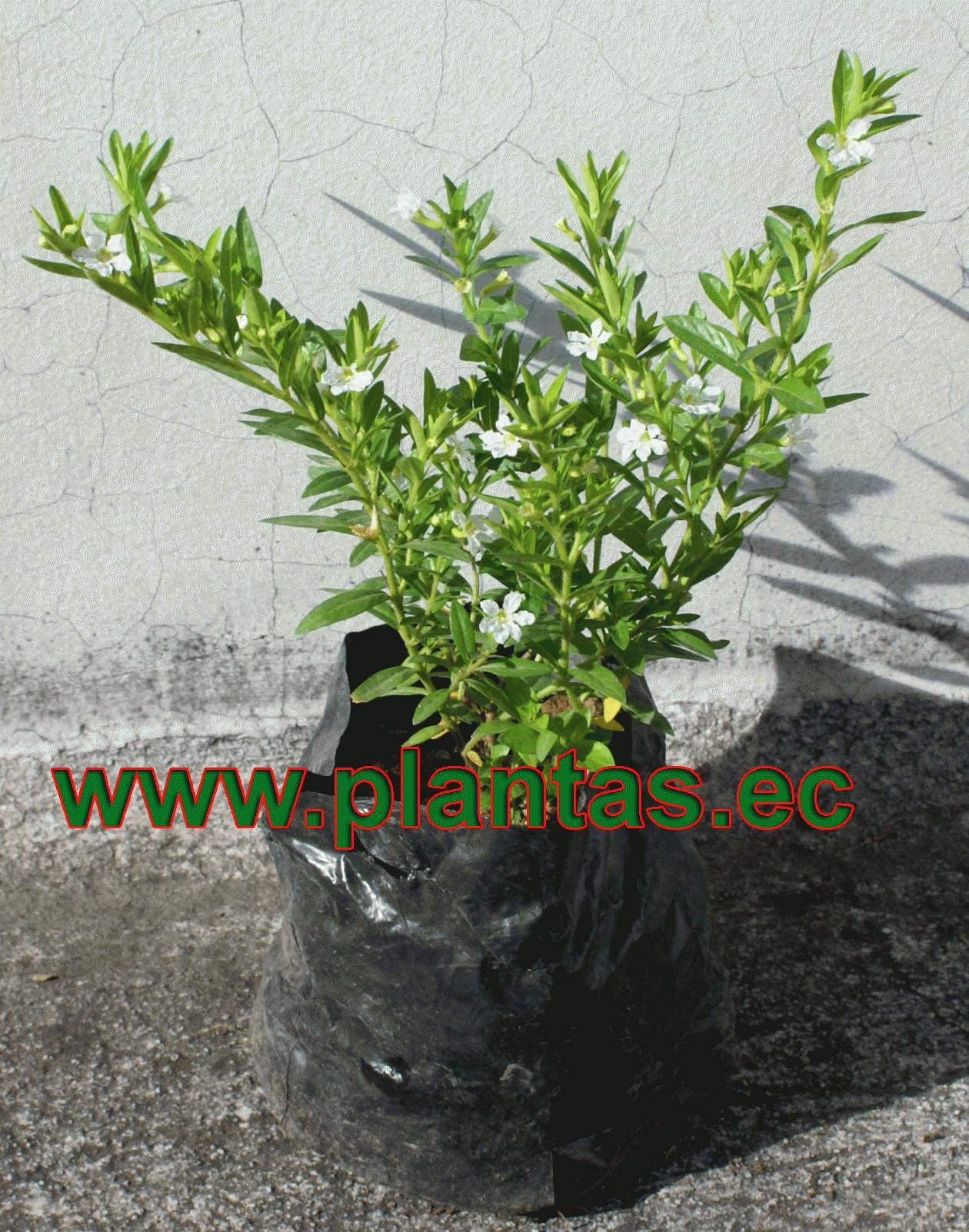 Mil flores blanco arboles frutales plantas ornamentales for Arbustos ornamentales