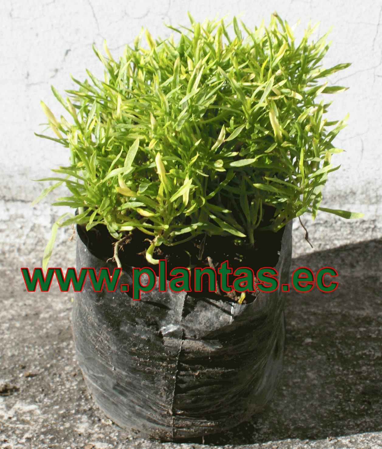 Fonforo verde arboles frutales plantas ornamentales y for Hierbas ornamentales