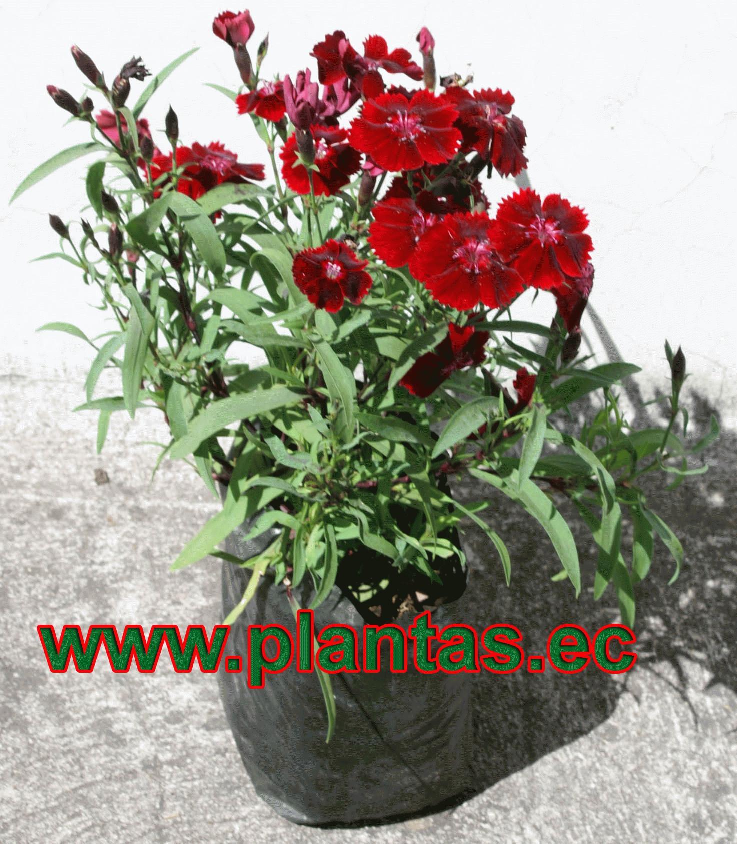 Clavelina arboles frutales plantas ornamentales y for Hierbas ornamentales