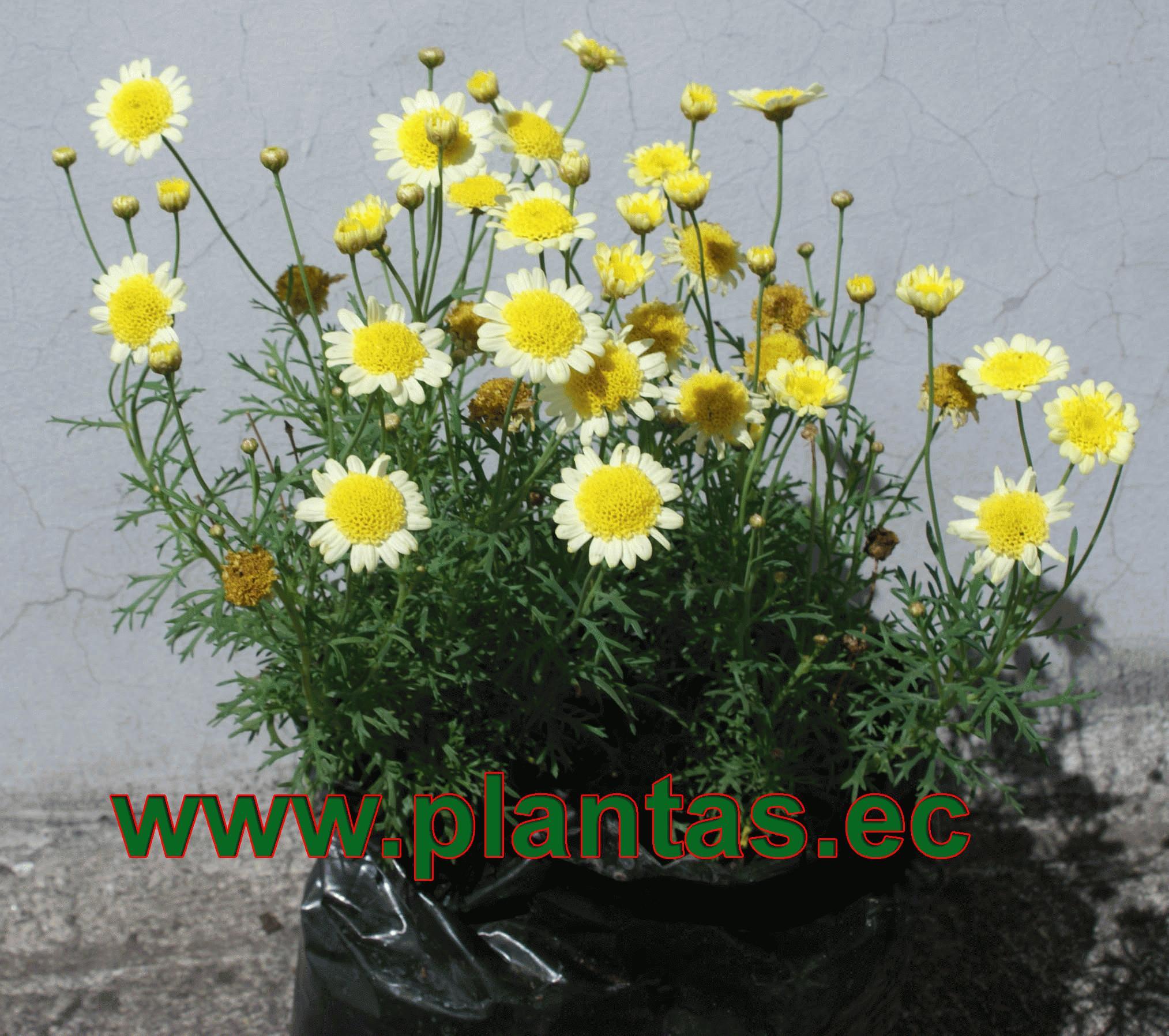 Ornamentales en plantas arbustos for Ver plantas ornamentales