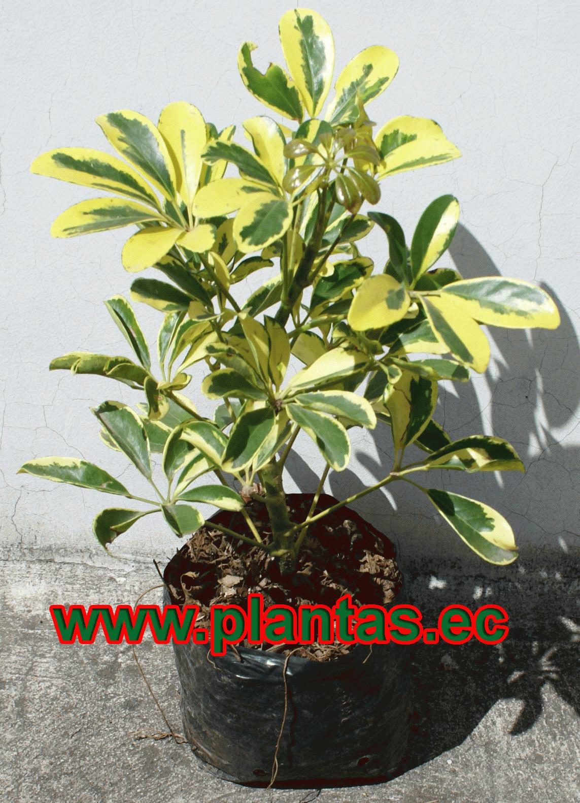 chiflera arboles frutales plantas ornamentales y