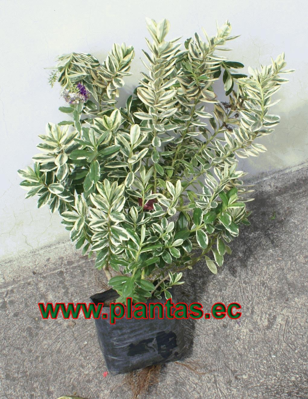 Ornamentales en plantas arbustos for Hierbas ornamentales