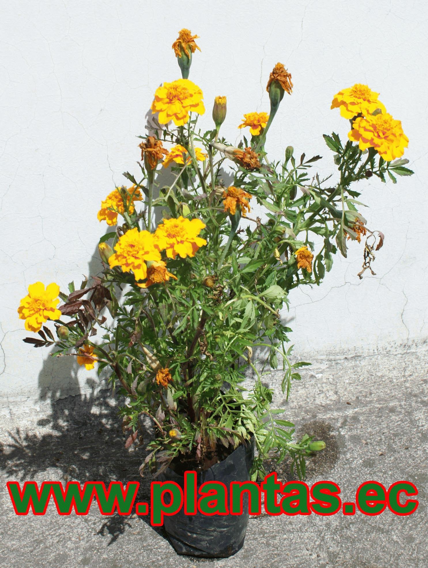 Marigola arboles frutales plantas ornamentales y for Hierbas ornamentales