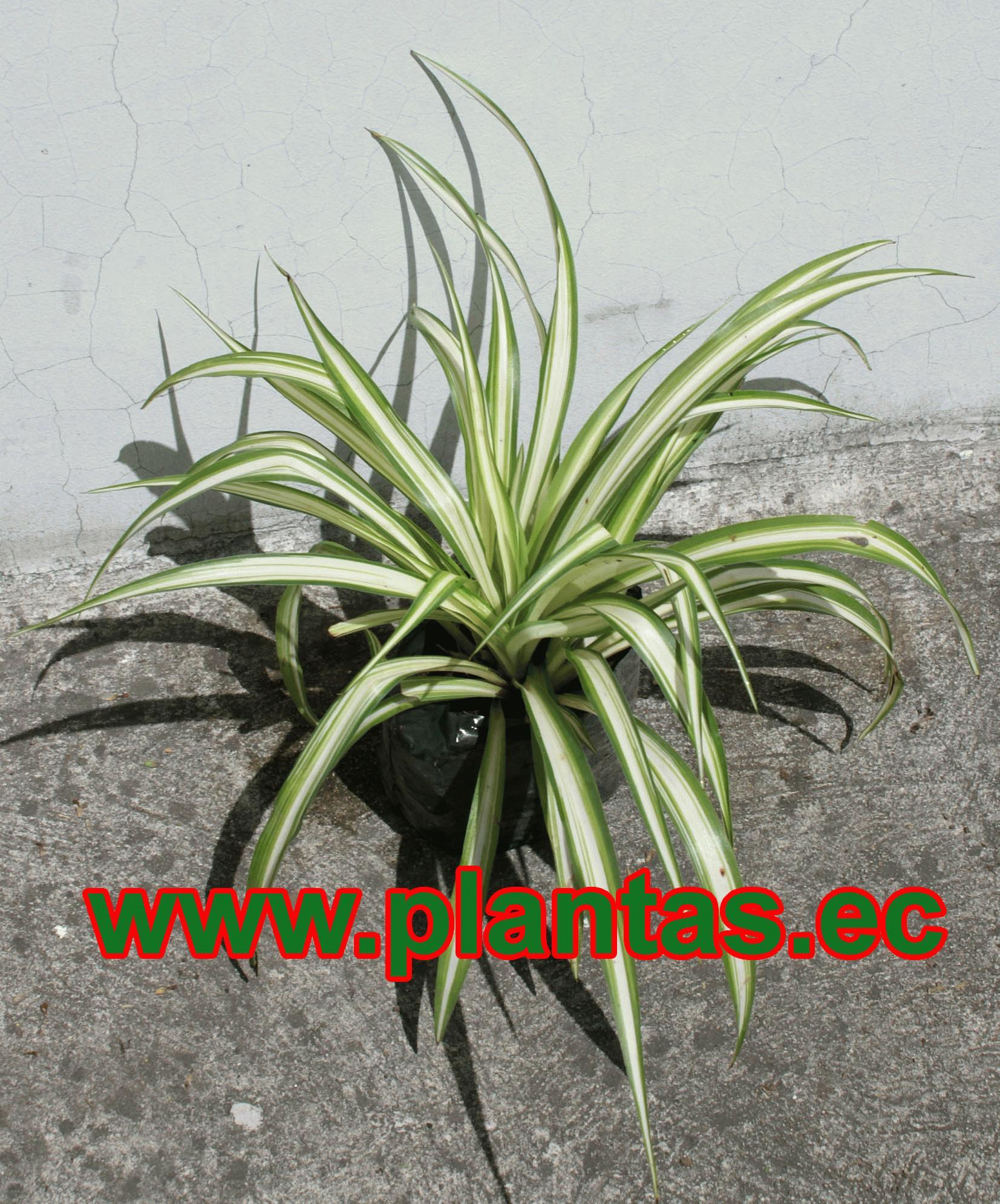 Cebollina arboles frutales plantas ornamentales y for Plantas medicinales y ornamentales