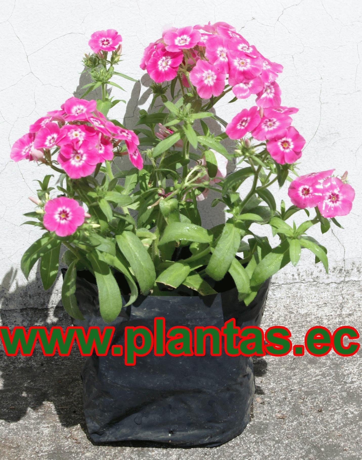 Bellitas arboles frutales plantas ornamentales y for Hierbas ornamentales