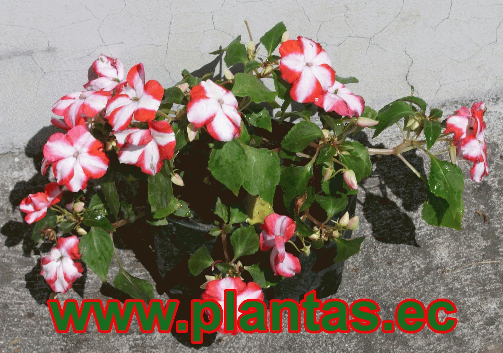 Miramelindas arboles frutales plantas ornamentales y for Hierbas ornamentales