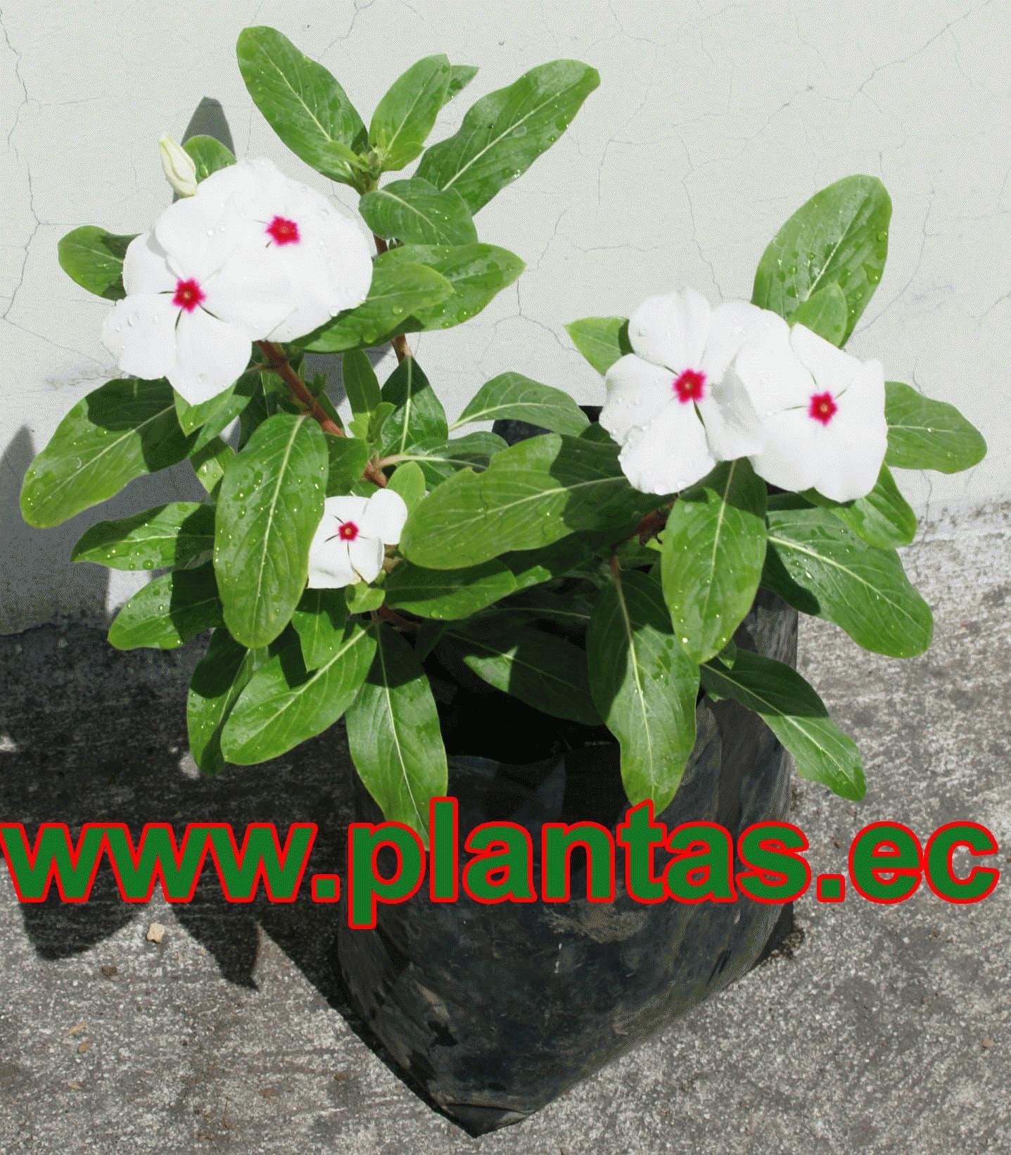 Arboles frutales plantas ornamentales y for Ver plantas ornamentales