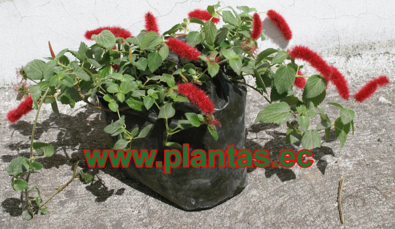 Plantas Ornamentales Tattoo Design Bild