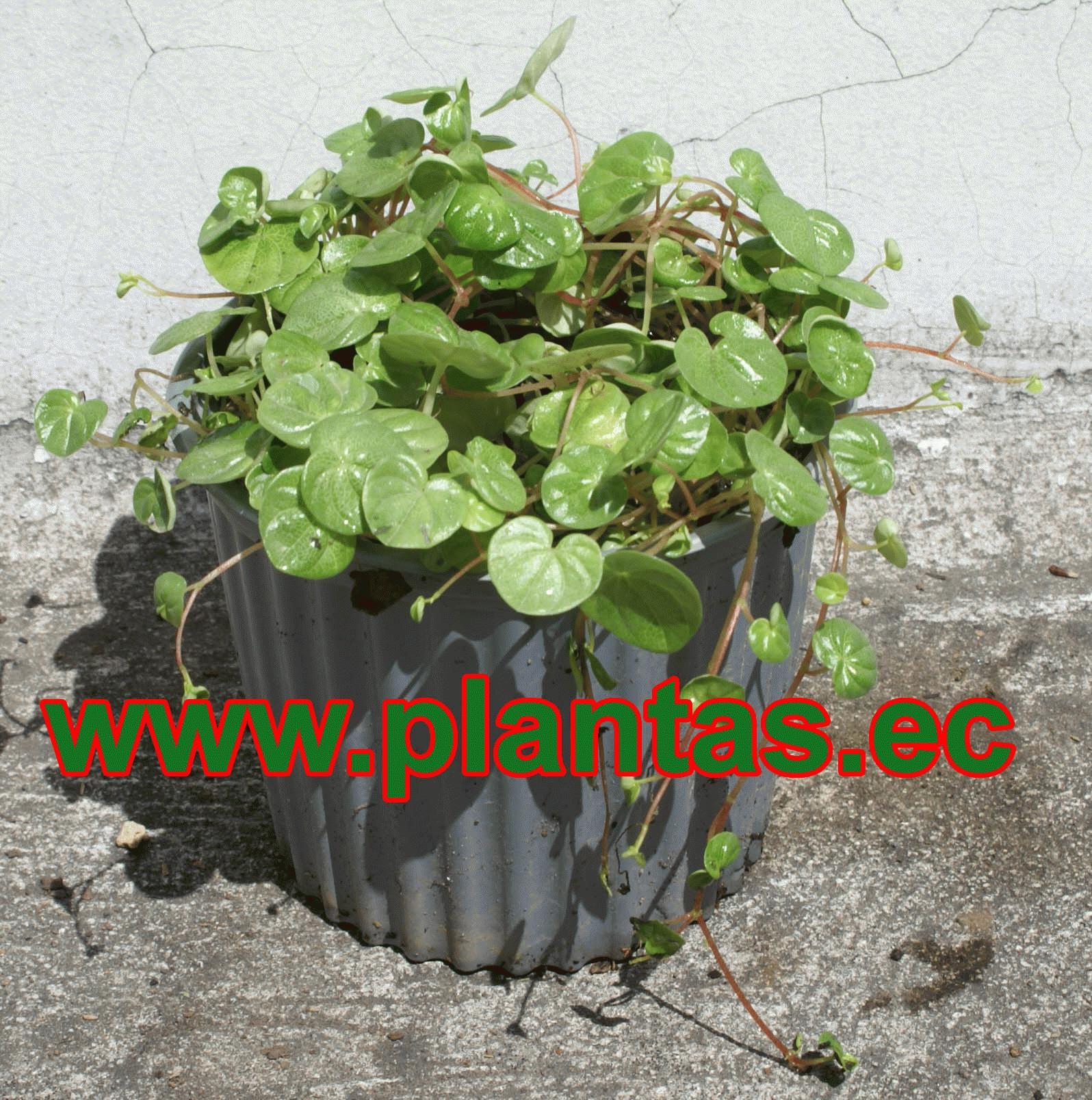 Dolares arboles frutales plantas ornamentales y for Plantas decorativas hojas