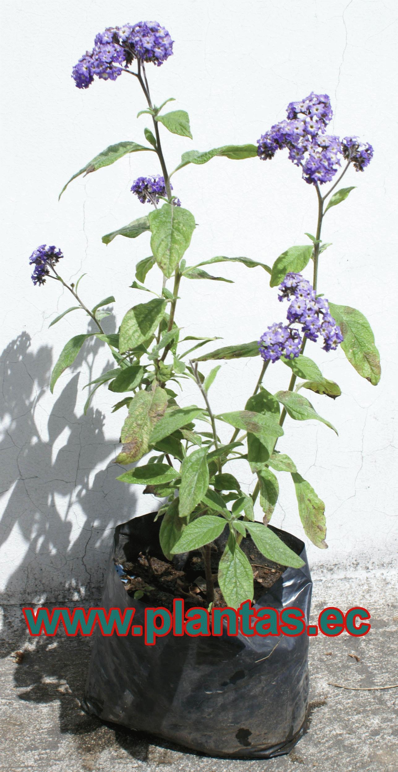 Eliofropo arboles frutales plantas ornamentales y for Hierbas ornamentales