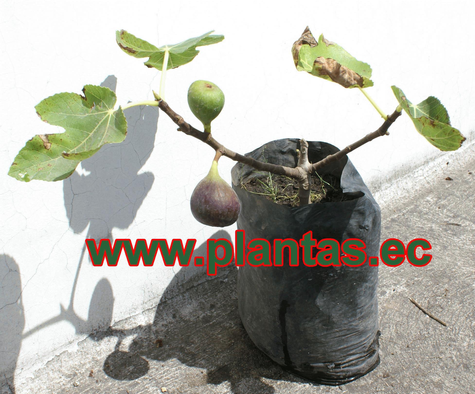 Higo arboles frutales plantas ornamentales y medicinales for Frutas ornamentales