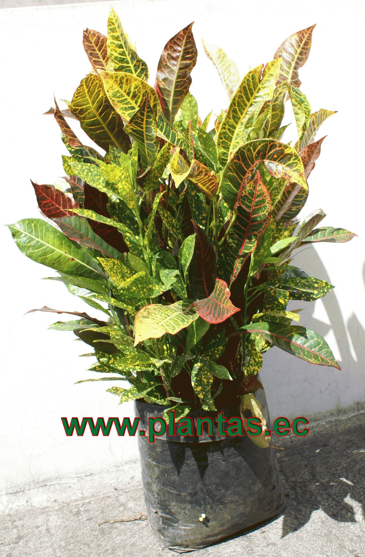 Arbustos en plantas hierbas y arboles en for Arbustos ornamentales