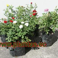 Rosas miniaturas