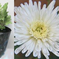 Crisantema blanca