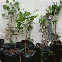 Planta de feijoa
